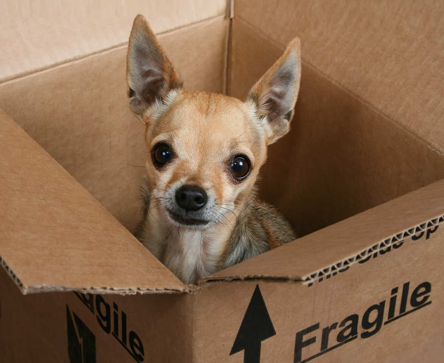 A tiny chihuahua dog in a box marked fragile