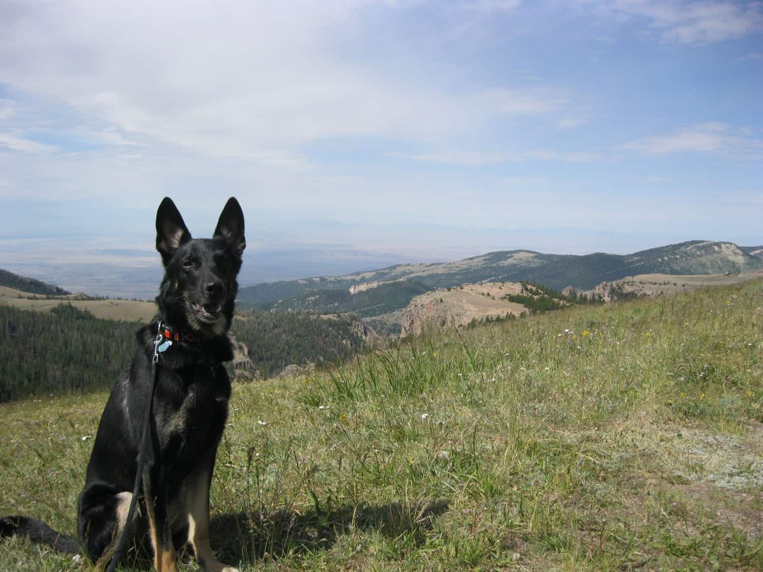 Pet dog in the Bighorn National Forest near Yellowstone National Park