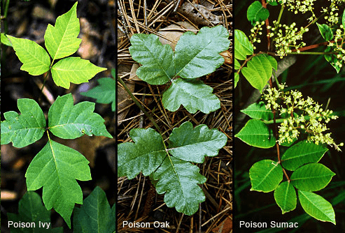Poisonous plants to avoid when hiking.