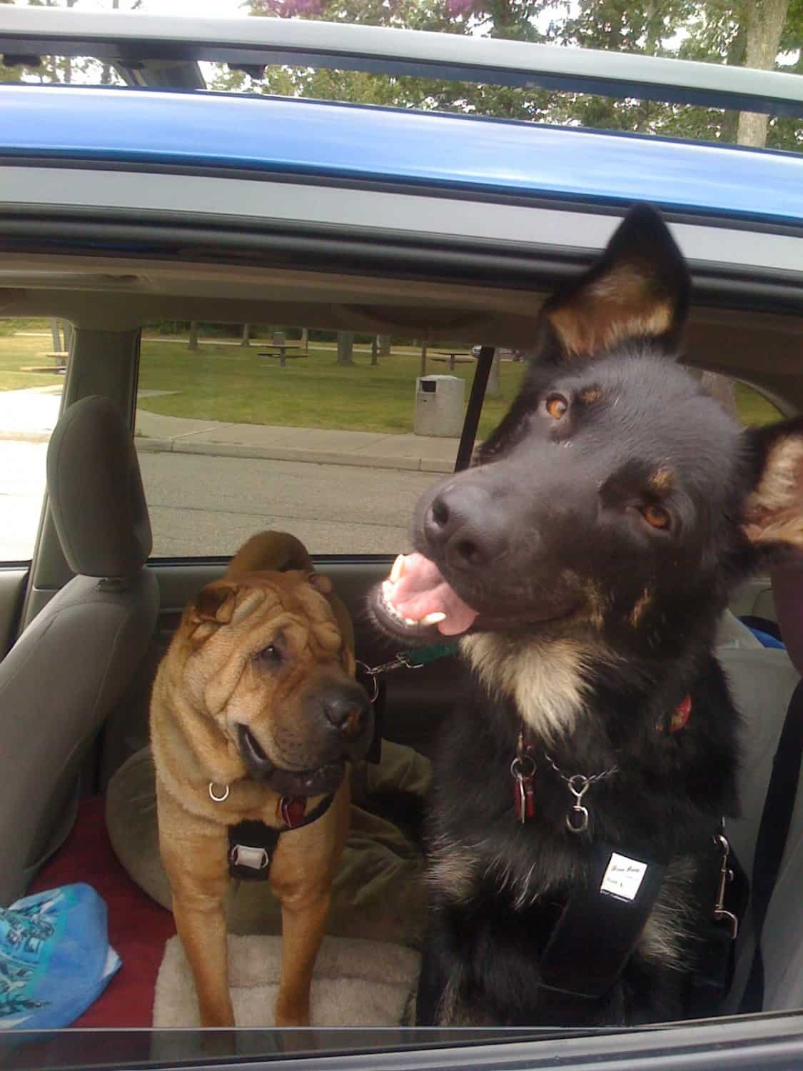 Ty and Buster sporting their seatbelts