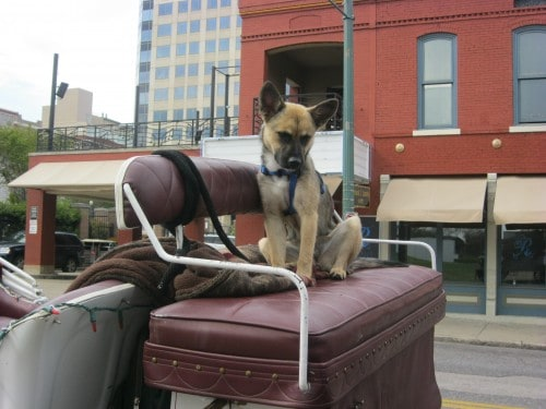 Mabel the Carriage Pup in Memphis, TN