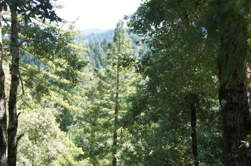 California's Redwoods