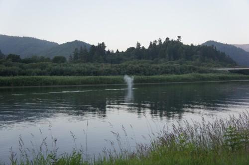 Gray Whale in the Klamath River, California