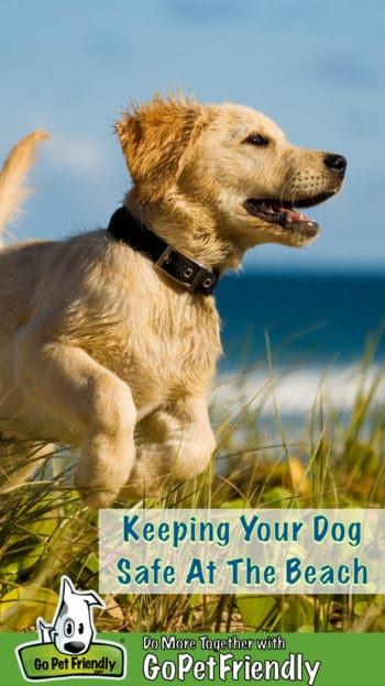 Golden Retriever puppy jumping on the beach