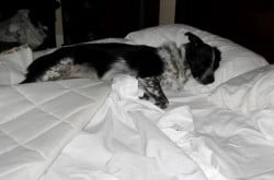 Can Your Dog Or Cat Get Bed Bugs