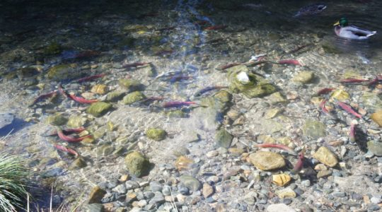 Salmon In Taylor Creek - Lake Tahoe, CA