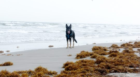 Buster On Beach - Mustang Island, TX