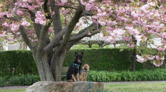 Cherry Tree - Newport, RI