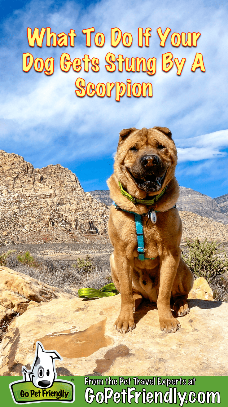 Ty the Shar-pei from GoPetFriendly.com sitting on a rock in Red Rock Canyon, NV