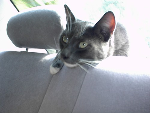 Road Trip Cat