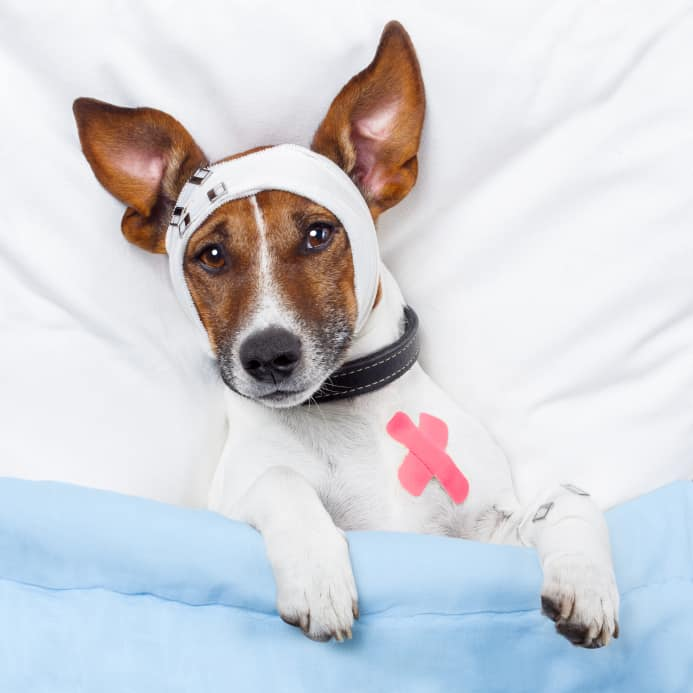 Canine Influenza: What You Need to Know Before Traveling With Your Dog |GoPetFriendly.com