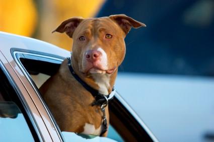 Pit bull - Dog in Car