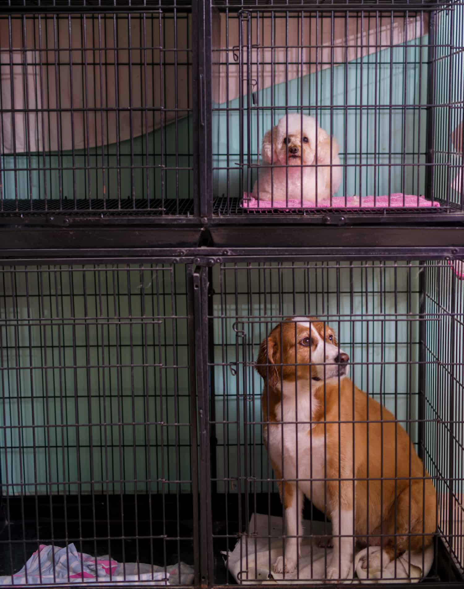 Sad small white and bigger white and brown dog sitting in cages stacked on each other
