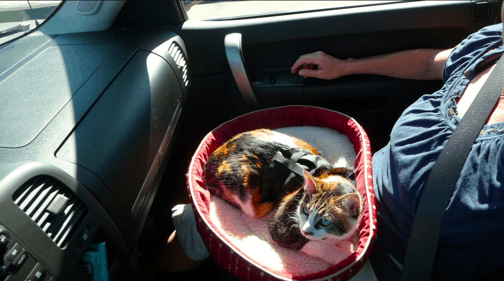 Rosie the traveling cat riding in the truck and acclimating to RV travel
