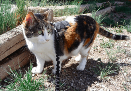 Rosie the cat outdoors on a leash as she acclimates to RV travel