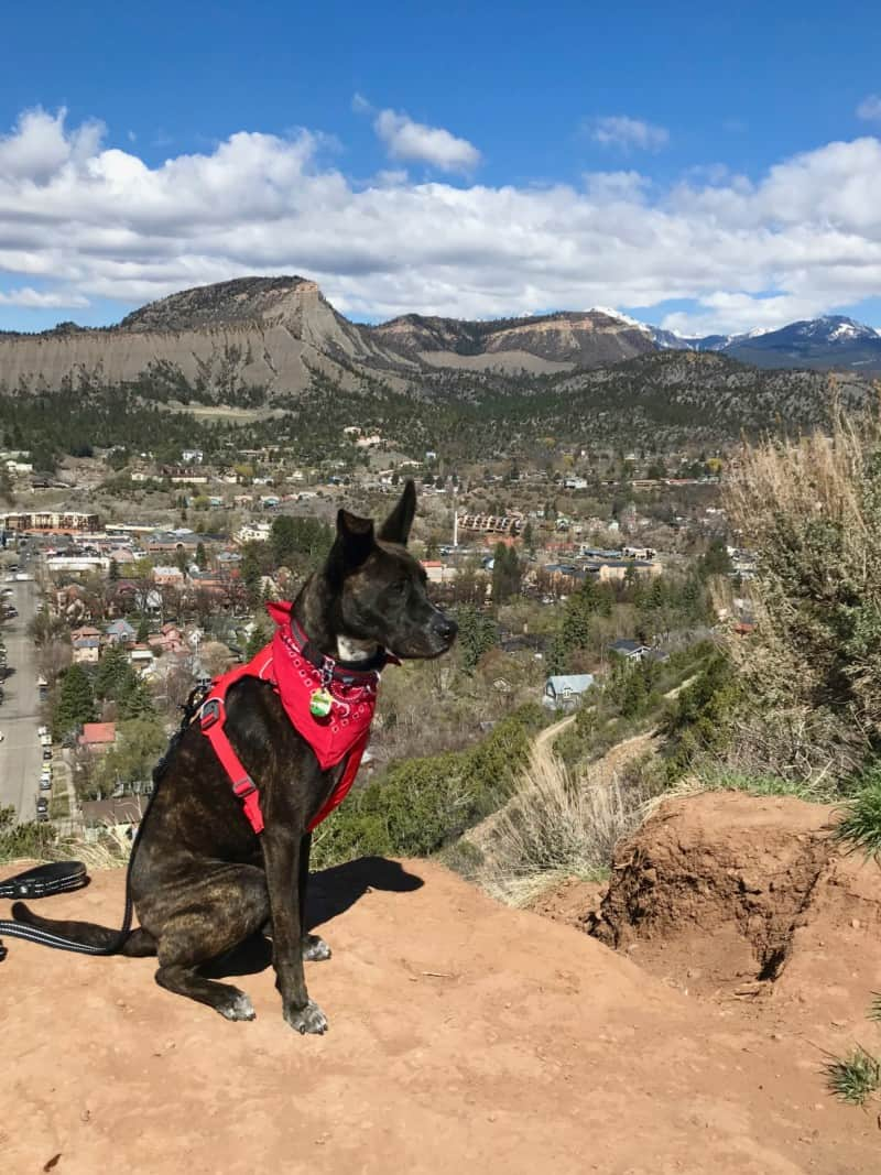 Brindle dog in a red bandana overlooking Durango, CO with mountains in the background