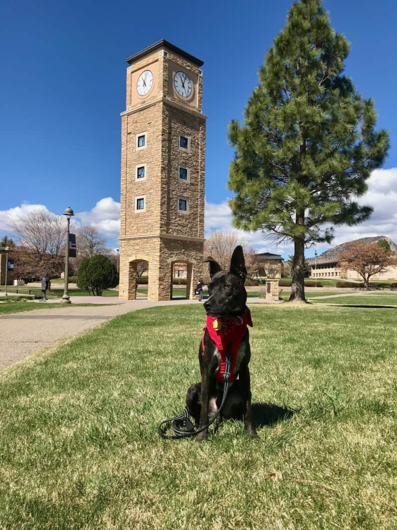 Brindle dog in a red harness in front of the clocktower on the Fort Lewis College campus in Durango, CO