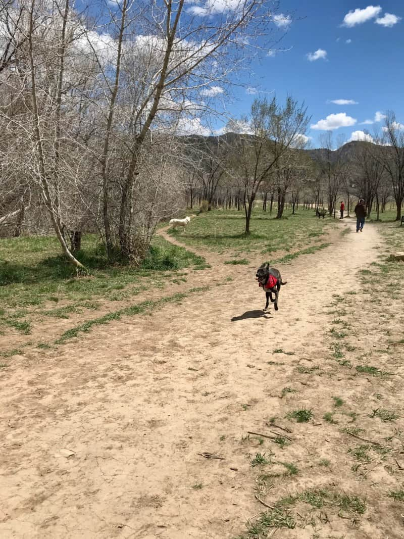 Dog in a red bandana running in the dog park in Durango, CO