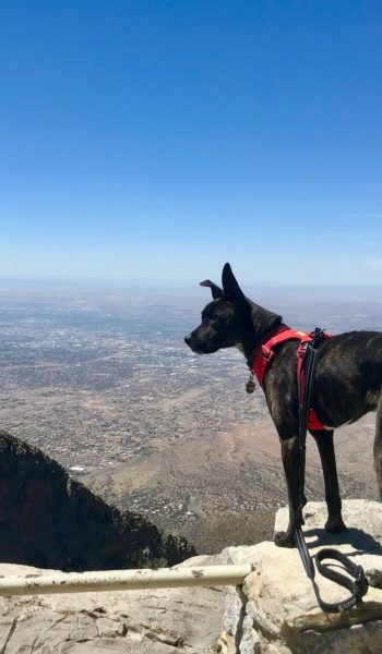 Brindle dog overlooking Albuquerque, NM from Sandia Crest