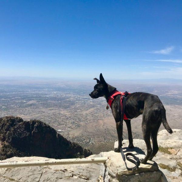 Brindle dog overlooking Albuquerque, NM from Sandia Crest