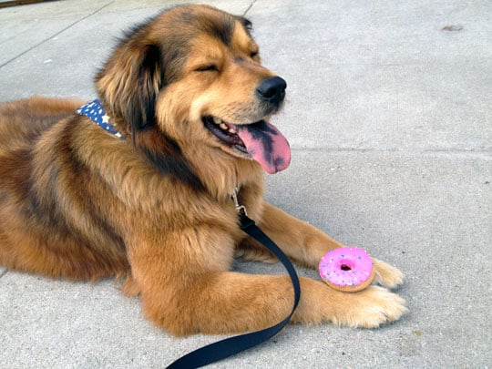 Romeo With is Donut from PetWants - Cincinnati, OH