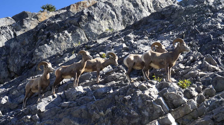 Bighorn Sheep - Banff, AB