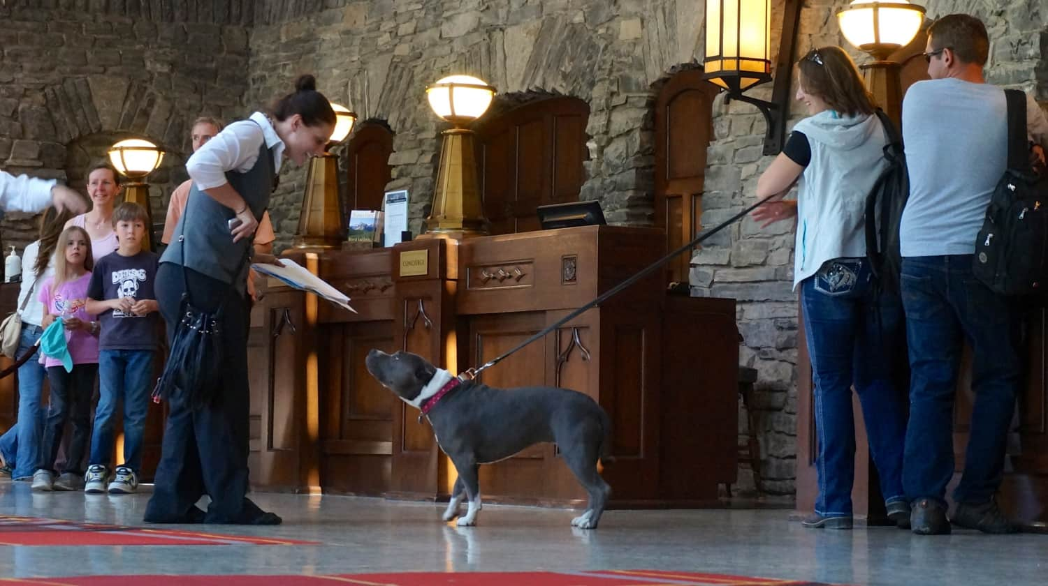 Pit bull at the Fairmont Banff Springs - Banff, AB