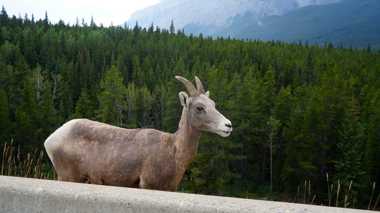 Female Bighorn Sheep - Banff, AB