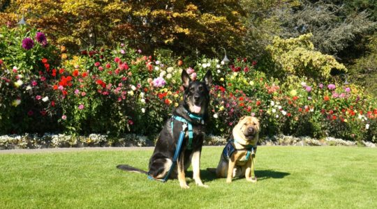 Ty and Buster at Butchart Gardens - Victoria, BC