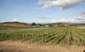Wilridge Vineyard - Yakima Valley, WA