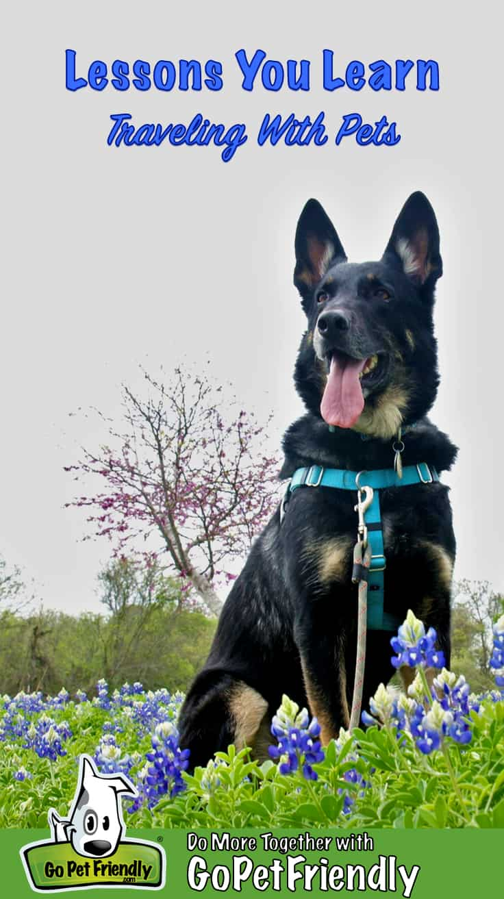 Black and Tan German Shepherd dog with a big smile sitting in purple flowers