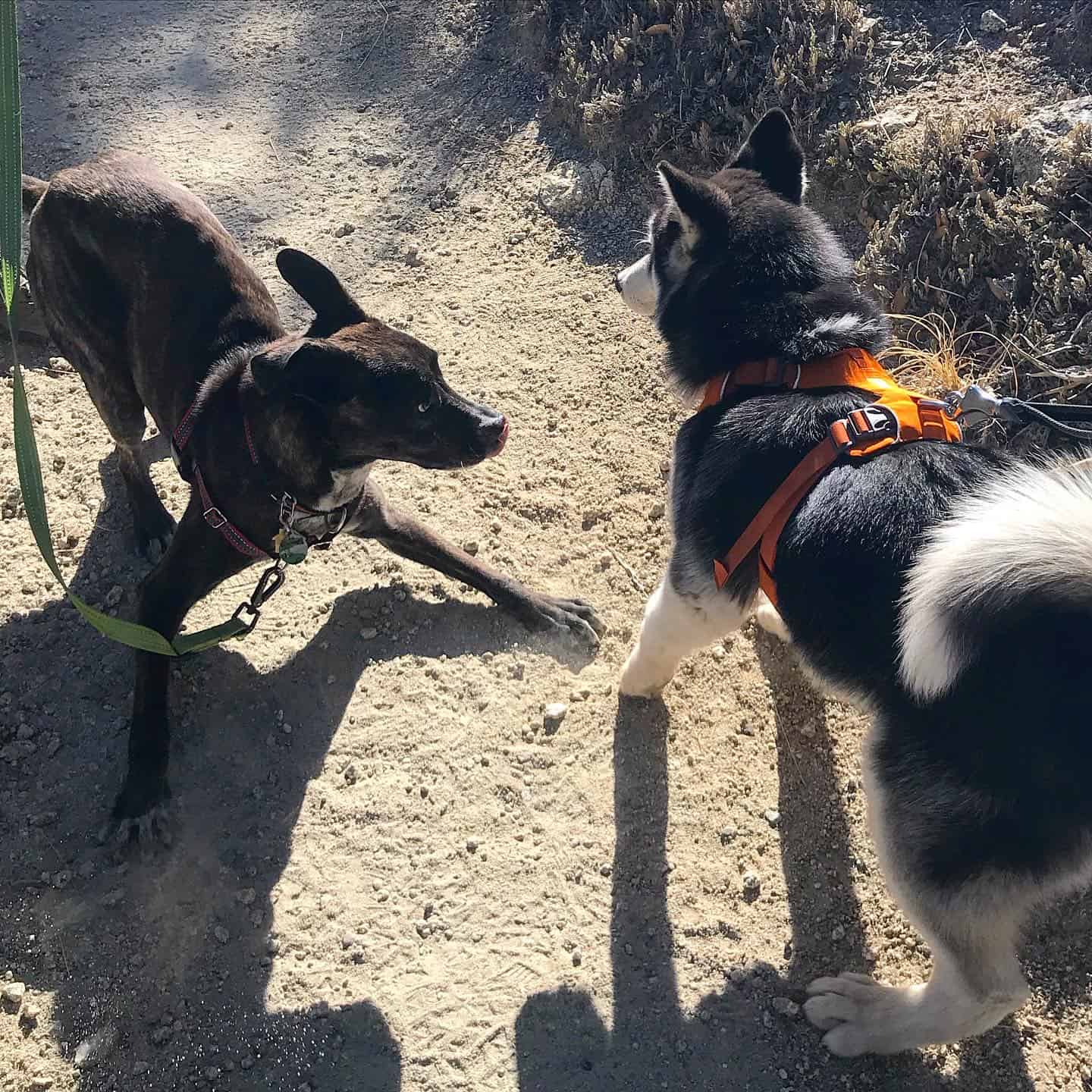 Brindle puppy and Husky dog playing on a pet friendly trail