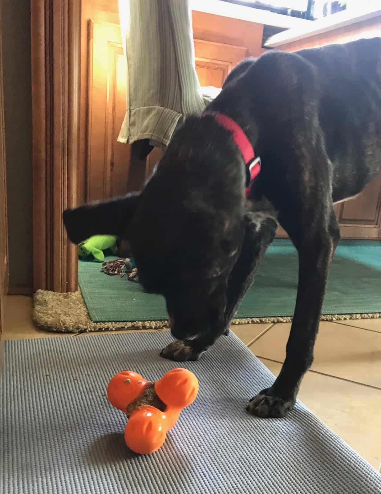 Puppy eating food from a toy inside