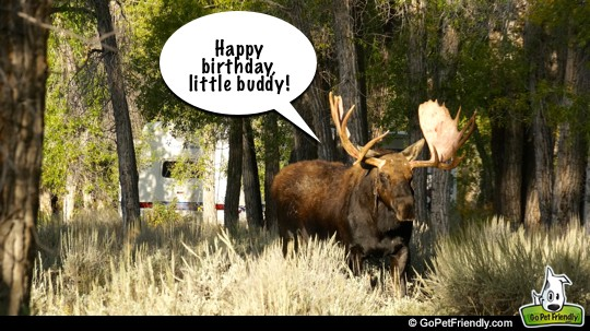 Birthday Moose