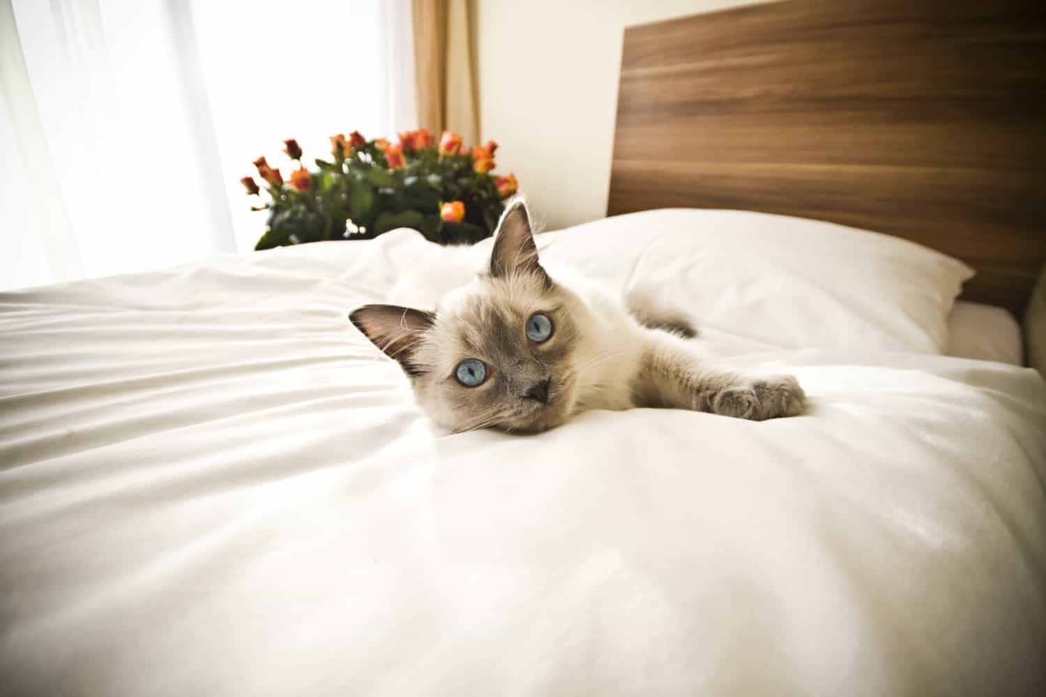 Siamese cat laying on a white comforter