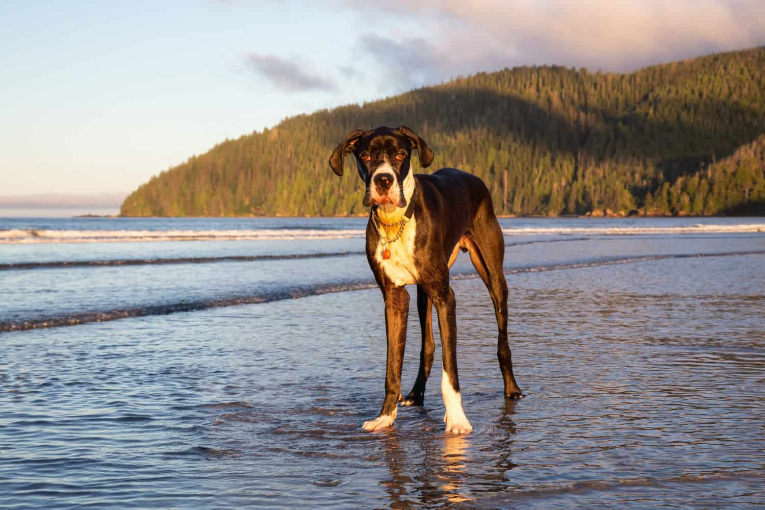 Big dog, Great Dane, playing in the water at Stanley Park in Vancouver Island, BC