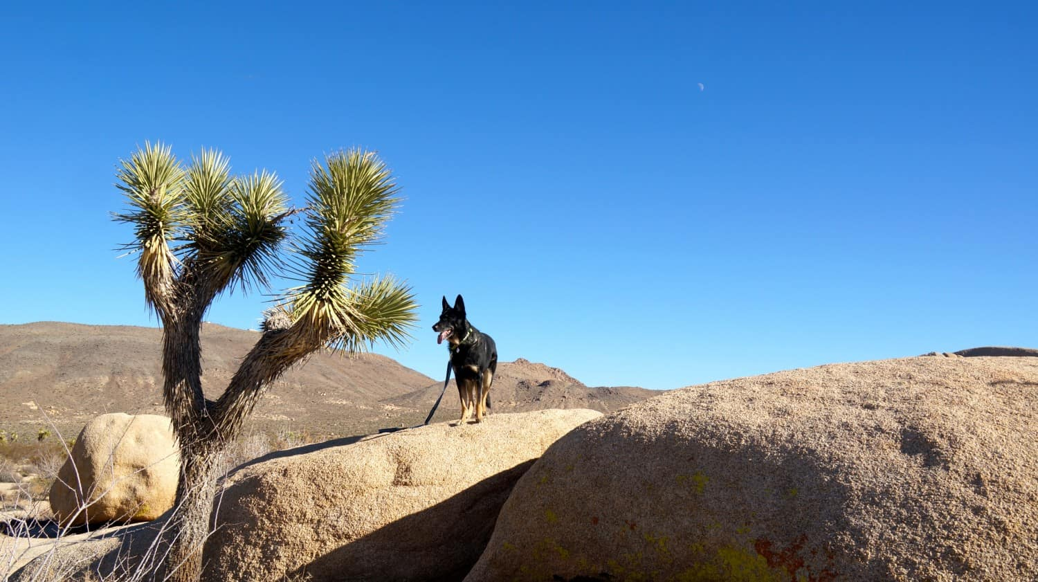 Buster the dog at pet friendly Joshua Tree National Park - Palm Springs, CA