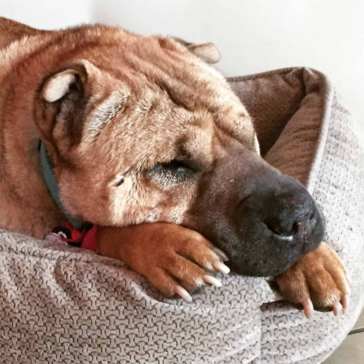 Ty the Shar-pei from GoPetFriendly.com laying in his bed with his paws under his chin