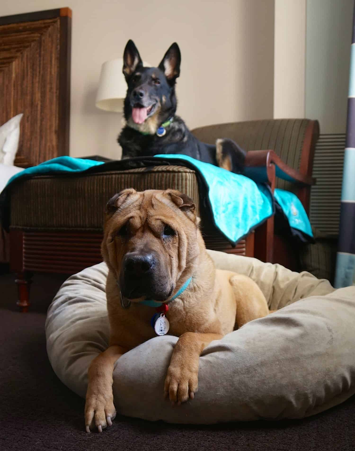 Dogs - Ty and Buster at Hotel Salomar - San Diego, CA