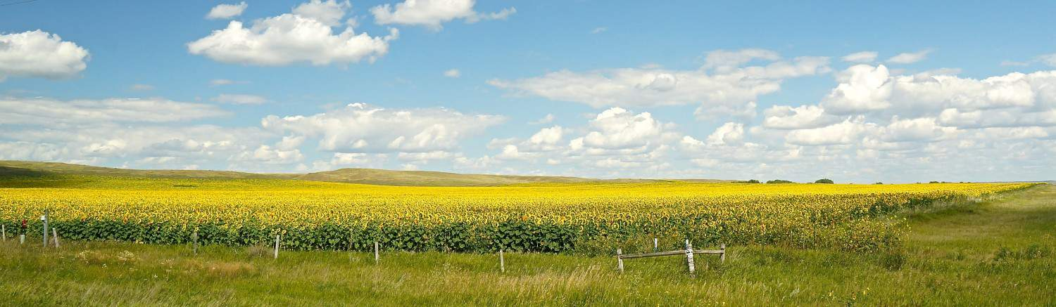 Sunflowers - Bismark, ND
