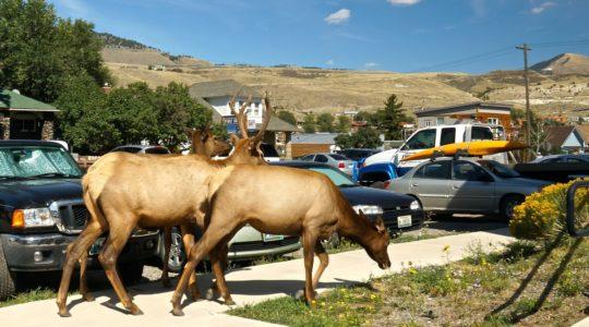 Elk in Gardiner, MT