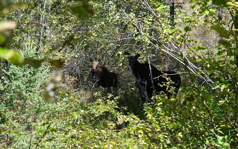 Moose on Suce Creek Trail - Livingston, MT