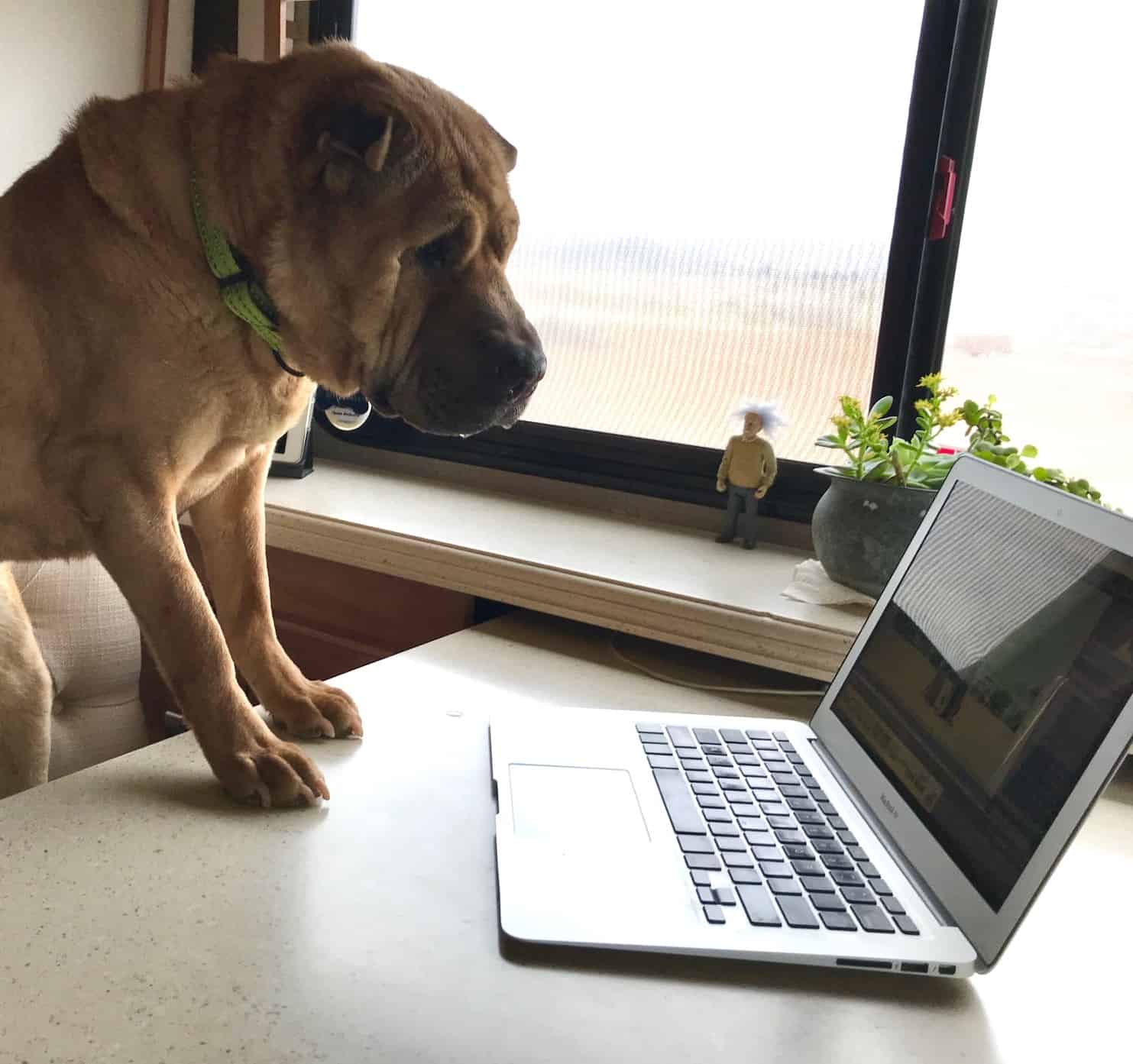 Shar-pei dog looking at a laptop sitting on a desk - supposedly reading pet friendly vacation property reviews
