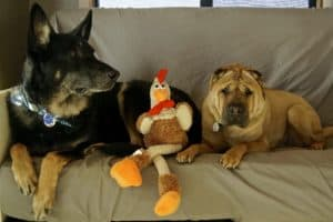Buster and Ty with their Thanksgiving Turkey
