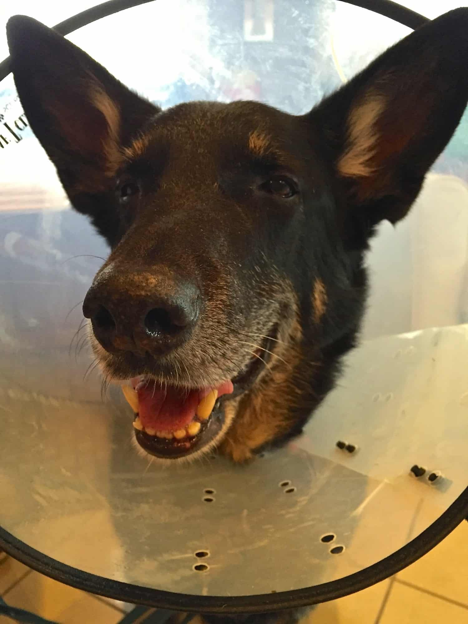 Black German Shepherd smiling in a cone collar