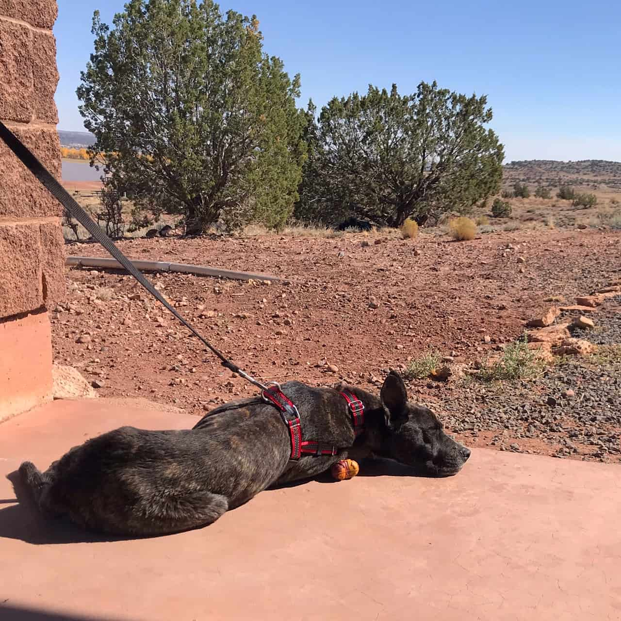 Brindle dog laying in the sun while camping in Arizona
