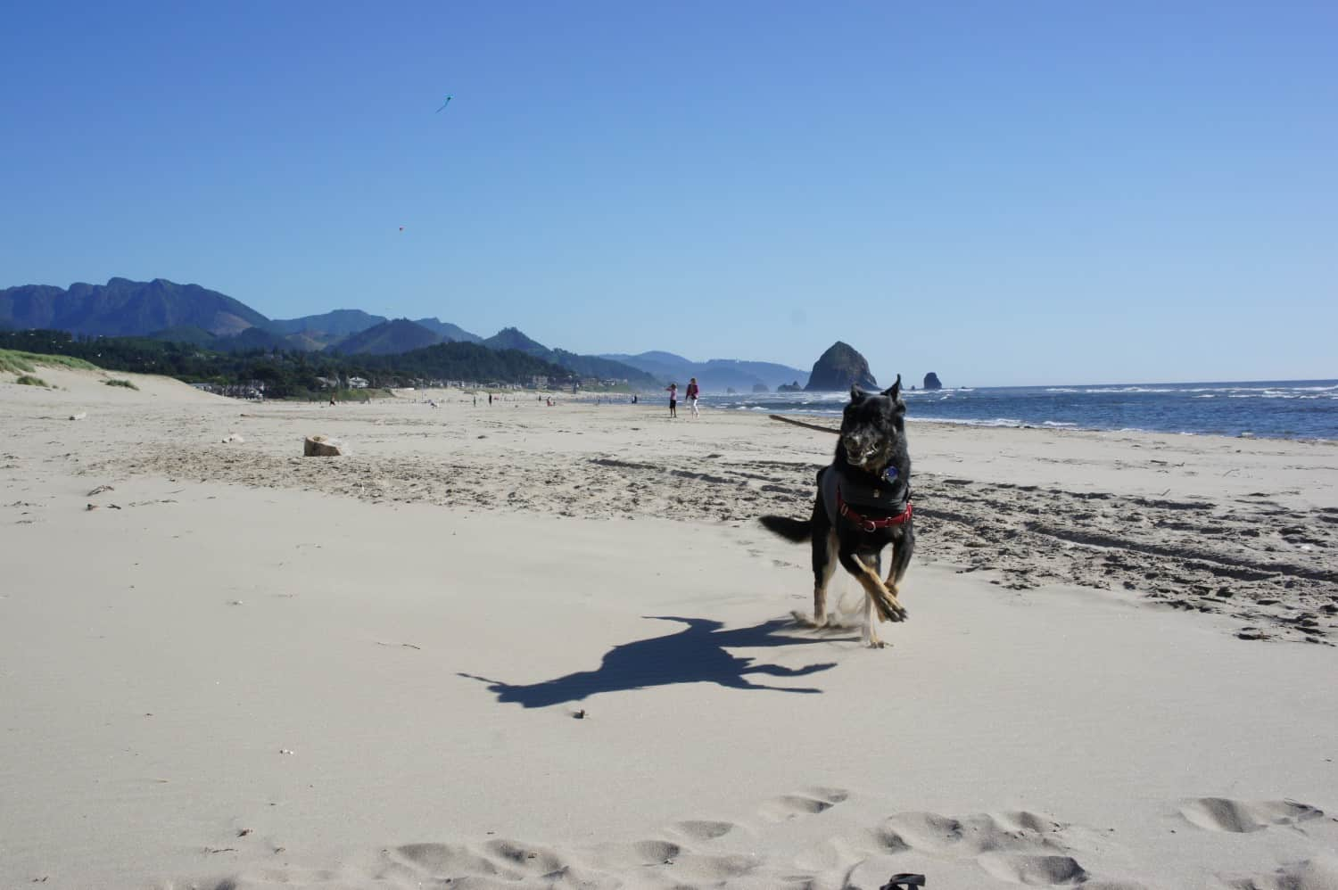 Buster Fetching Sticks on Canon Beach, OR