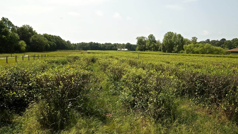 Charleston Tea Plantation - Charleston, SC