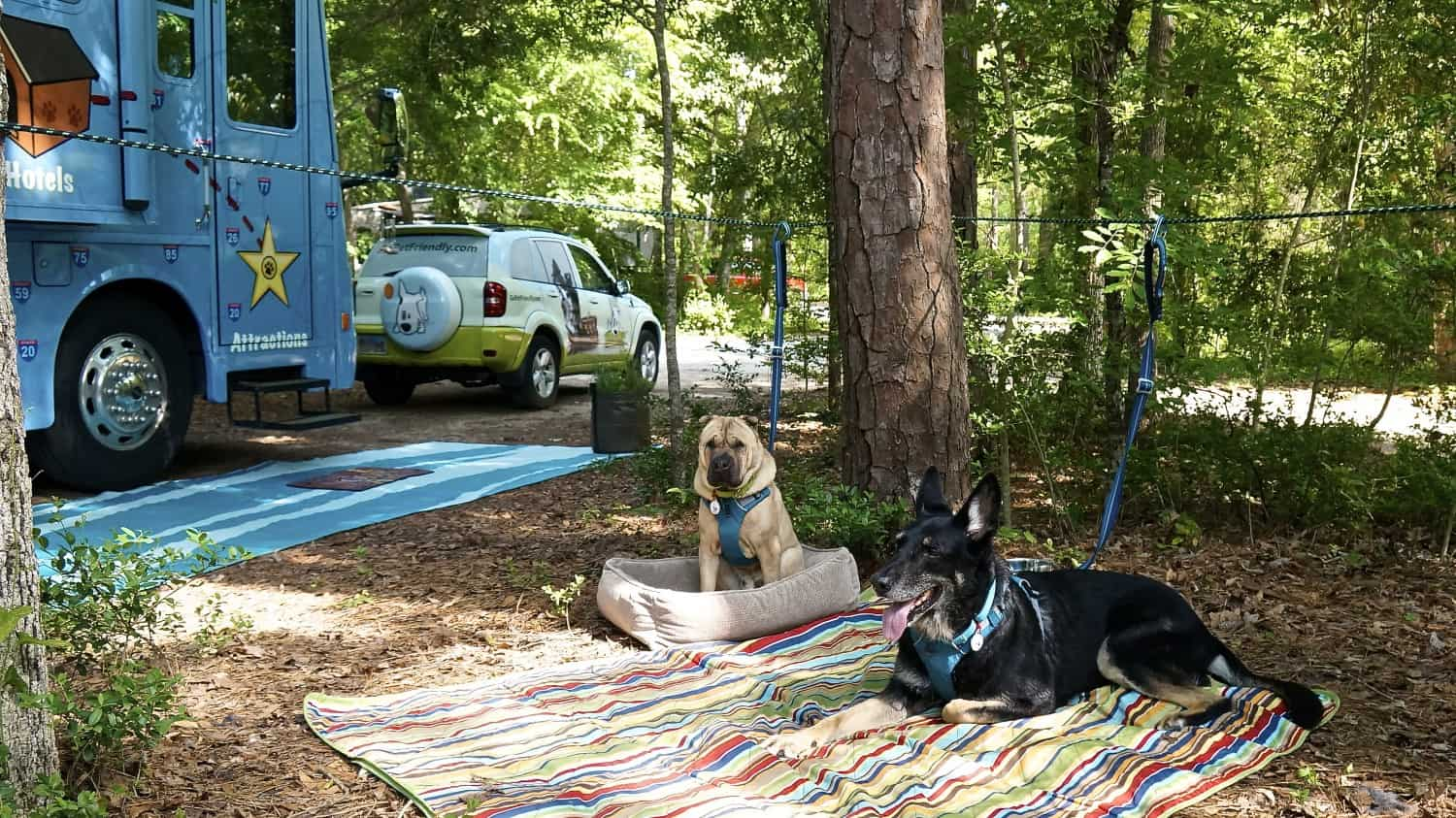 Ty the Shar-pei and Buster the German Shepherd lounging in a campsite on their zip line