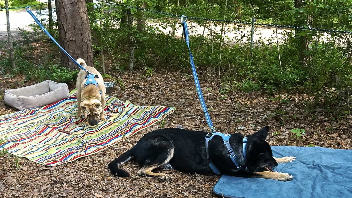 Ty the Shar-pei and Buster the German Shepherd from GoPetFriendly.com relaxing in a campsite on their dog zip line